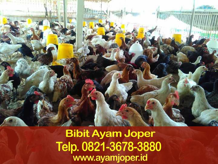 Jual Bibit Ayam Kampung Super Mataram